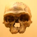 Homo Sapien Skull